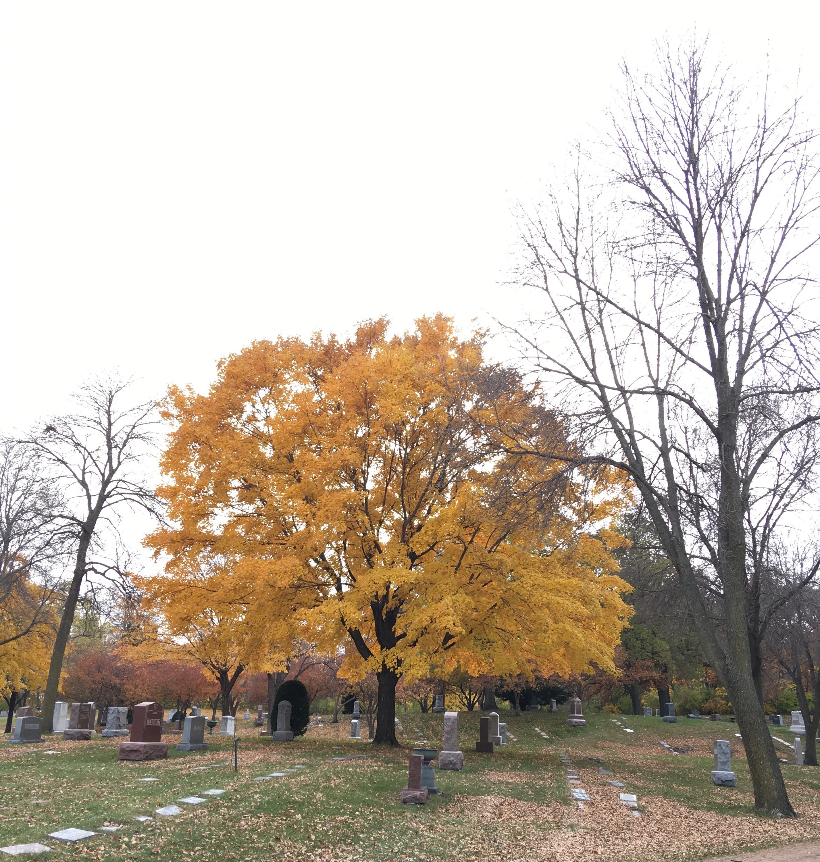 Maple, fully yellow, surrounded by bare trees and cemetery, under a cloudy sky