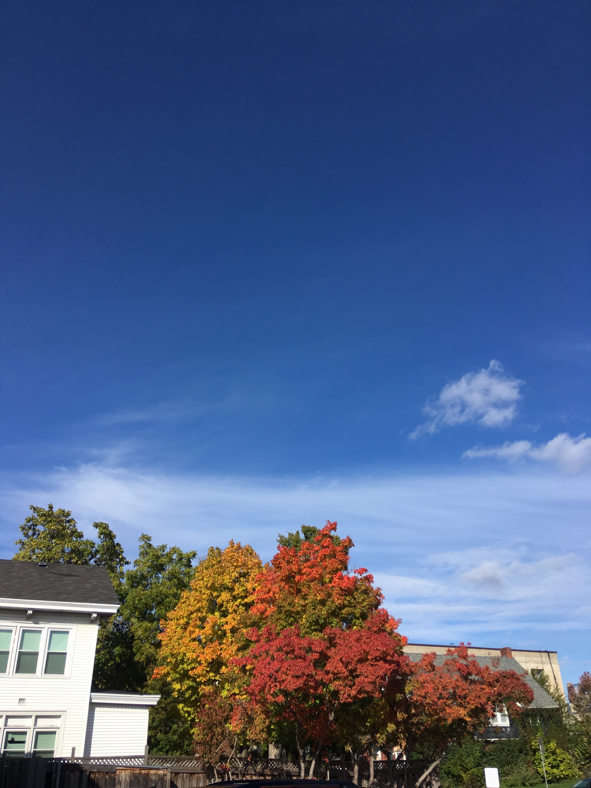 autumn leaves changing color beneath a sharp blue sky